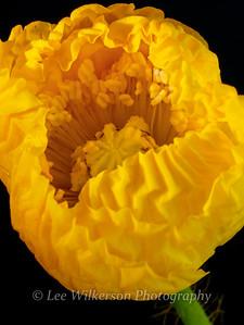 Yellow Poppy Opening