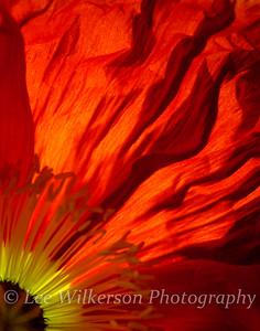 Red poppy blazing