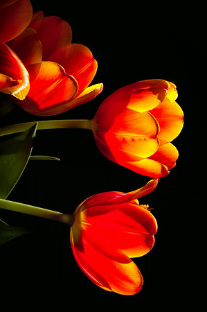 Backlit tulips<br /> © Sharon Thomas