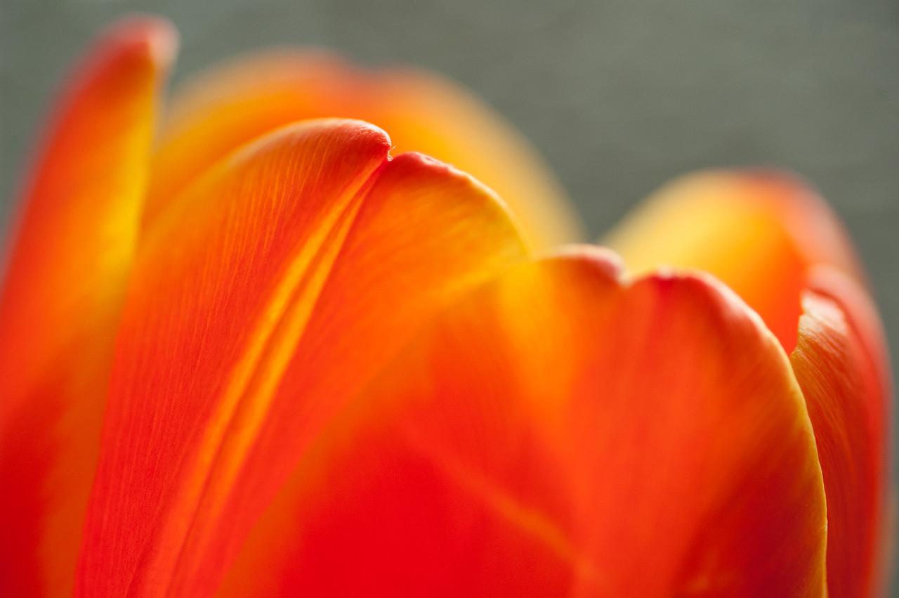 Dancing Tulip