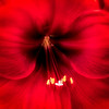 Red Floral Macro<br /> © Sharon Thomas