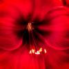 Red Floral Macro