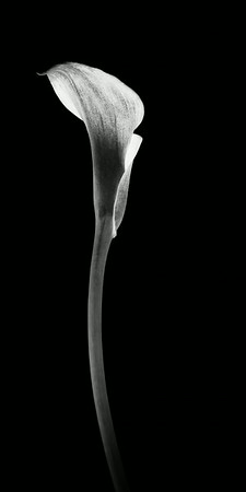 Solitary Cala Lily<br /> © Sharon Thomas