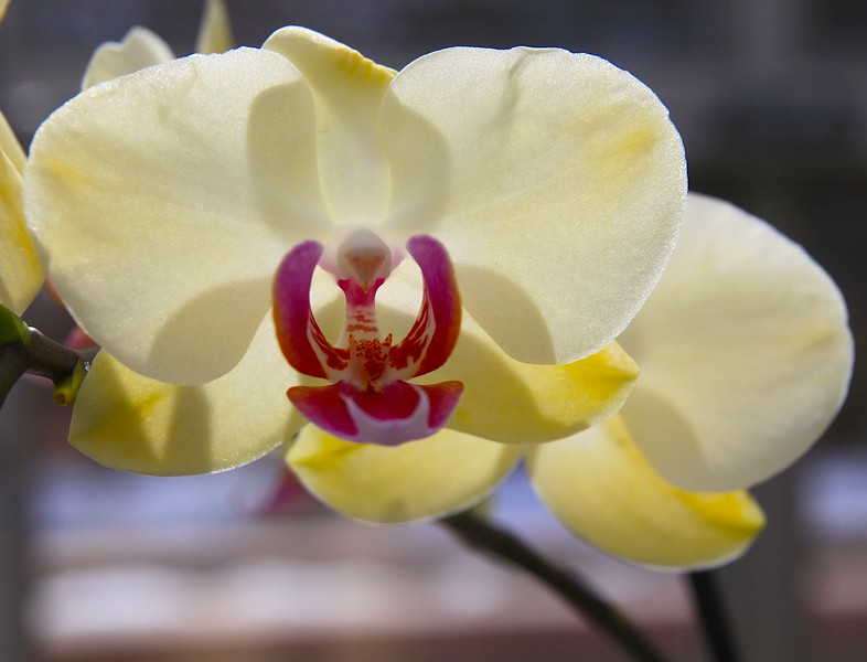 Yellow and Red Orchid Backlit