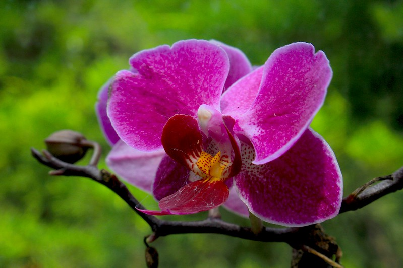 Pink and Red Orchid