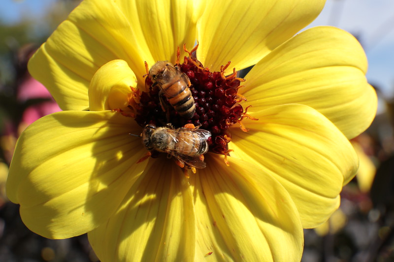 Two Bees Loaded with Pollen on Yellow Dahlia