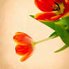 Tulips<br /> © Sharon Thomas