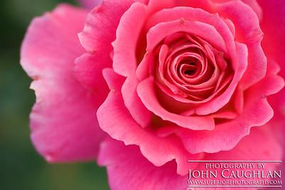 Rose(pink6f)