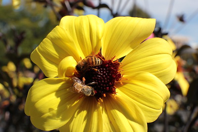 Two Bees on a Yellow Dahlia