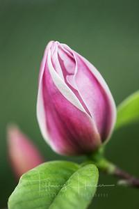 Rose Marie Magnolia