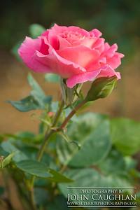Rose(pink6b)