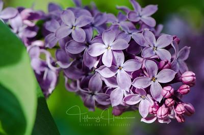 Sweet Lilac