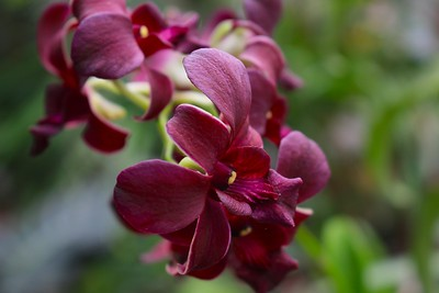 Maroon Orchids