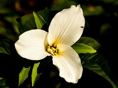 Trillium - Spring flower