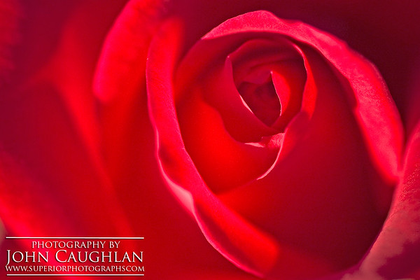 Red Rose2