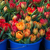 Tulips in blue pails