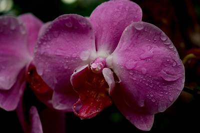Pink and Red Orchids after Rain