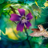 purple flower dewdrops  hummingbird