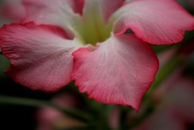 Picotee Tree Pink and White Flower Closeup