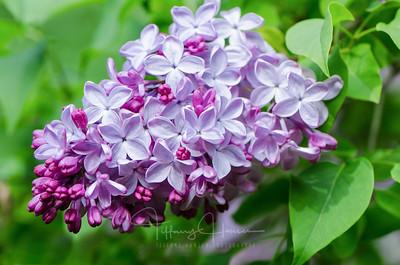 Budding Lilac