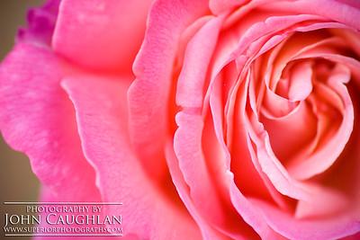 Rose(pink6h)