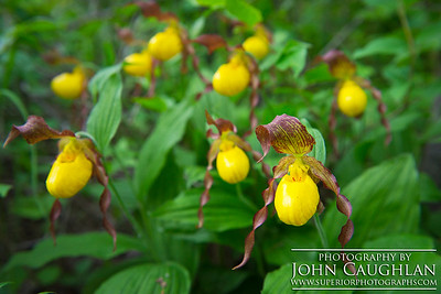 ladyslipper(yellow1g)