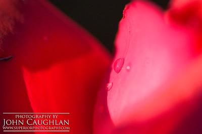Red Rose4