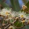 Gum Tree Flower