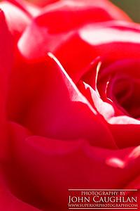 Red Rose3
