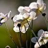 """""""Autumn Anemone"""" by Sue Davis"""