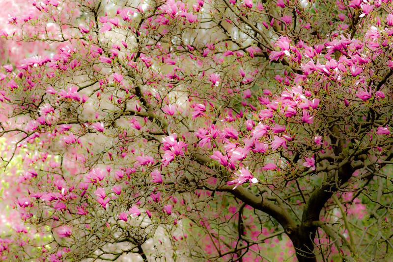 """Magnolia in Spring"" by A.E. Amador"