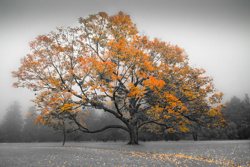 """The Old Sugar Maple"" by A.E. Amador"