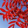 """Red Leaves"" by Vinod Variyam"