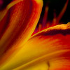 """Intense Reds: Daylily"" by A.E. Amador"