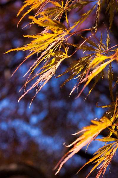 """""""Japanese Maple 1"""" by Mary Roby"""