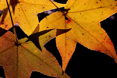 """""""Dancing Leaves"""" by Mary Roby"""