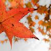 """Sweetgum Leaf"" by Vinod Variyam"
