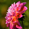 """Dahlia Profile"" by Sue Davis"