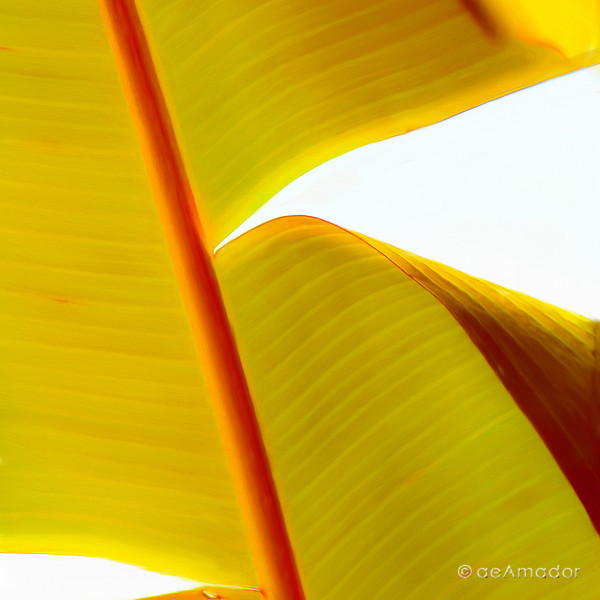 Golden Plantain 0159-aeamador