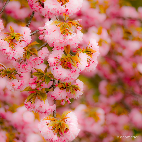 The Kwanzan Cherry