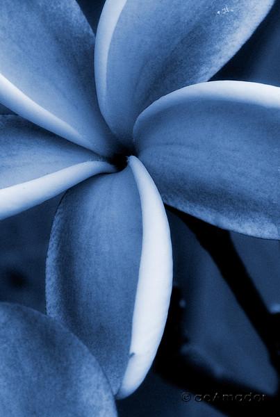 plumeria mono blue