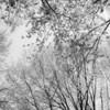 """Greening Maples""<br /> _DSC0309aeamador©-MDSC"