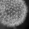 """""""The Dandelion""""<br /> _DSC0020aeamador©-MDSC"""