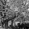 """""""Kwanzan Cherries""""<br /> _DSC0072aeamador©-MDSC"""