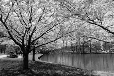 """Cherry Trees"" _DSC0109aeamador©-MDSC"