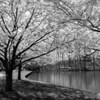 """Cherry Trees""<br /> _DSC0109aeamador©-MDSC"
