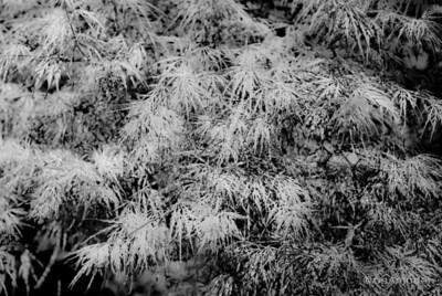 """Acer Palmatum"" _DSC0297aeamador©-MDSC"