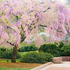 """""""The Weeping Cherry""""<br /> _DSC0323aeamador©-MDSC"""