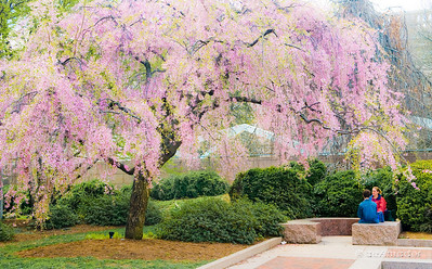"""The Weeping Cherry"" _DSC0323aeamador©-MDSC"