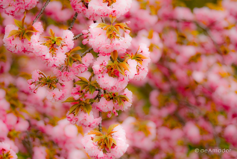 """The Kwanzan Cherry""<br /> _DSC0030aeamador©-MDSC"